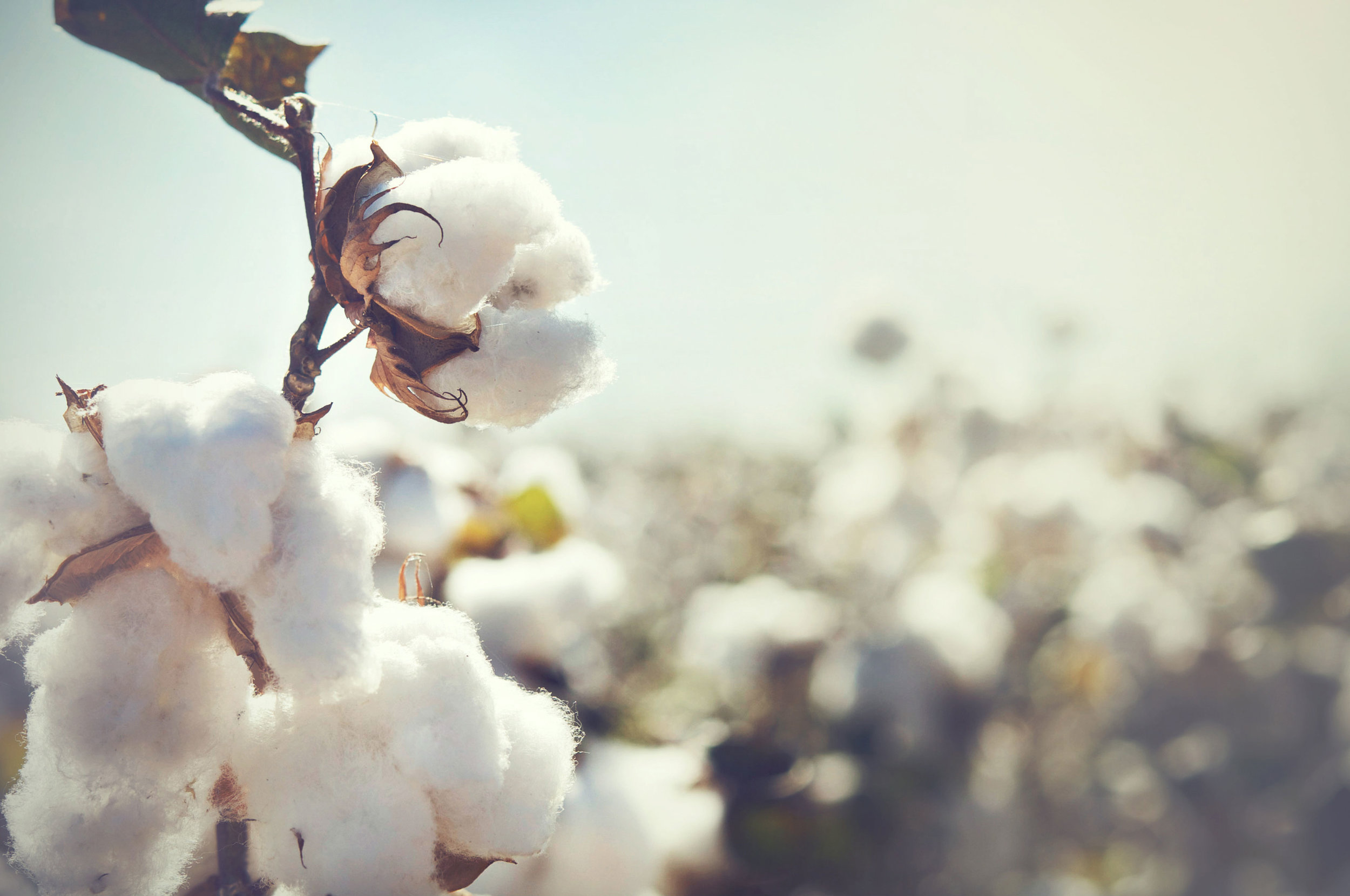 re-cotton.jpg