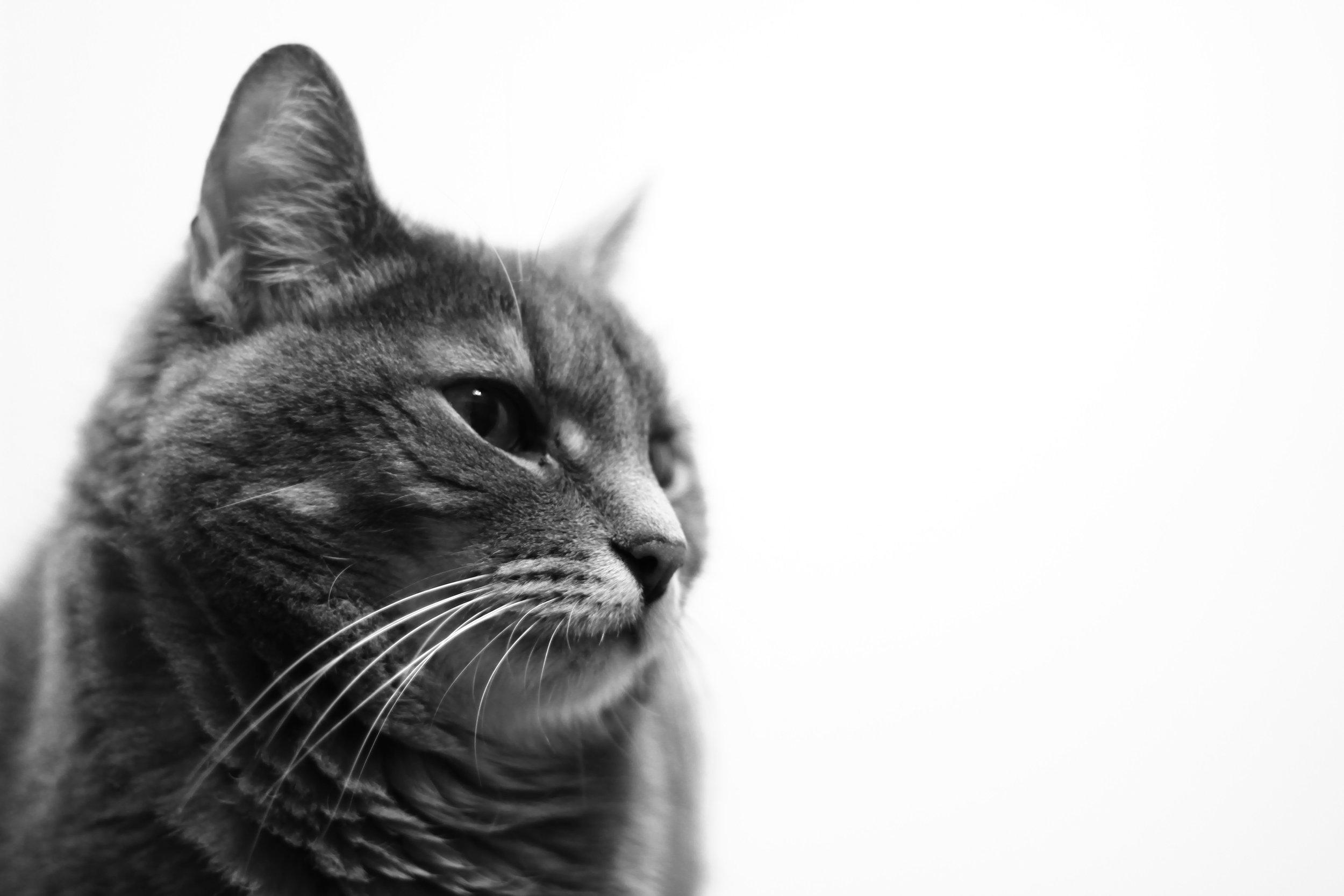 animal-black-and-white-cat-21297.jpg