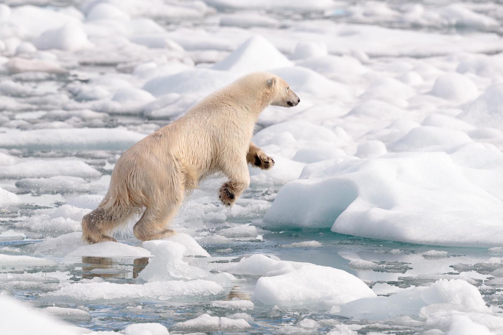 Polar bear jumping over ice flow