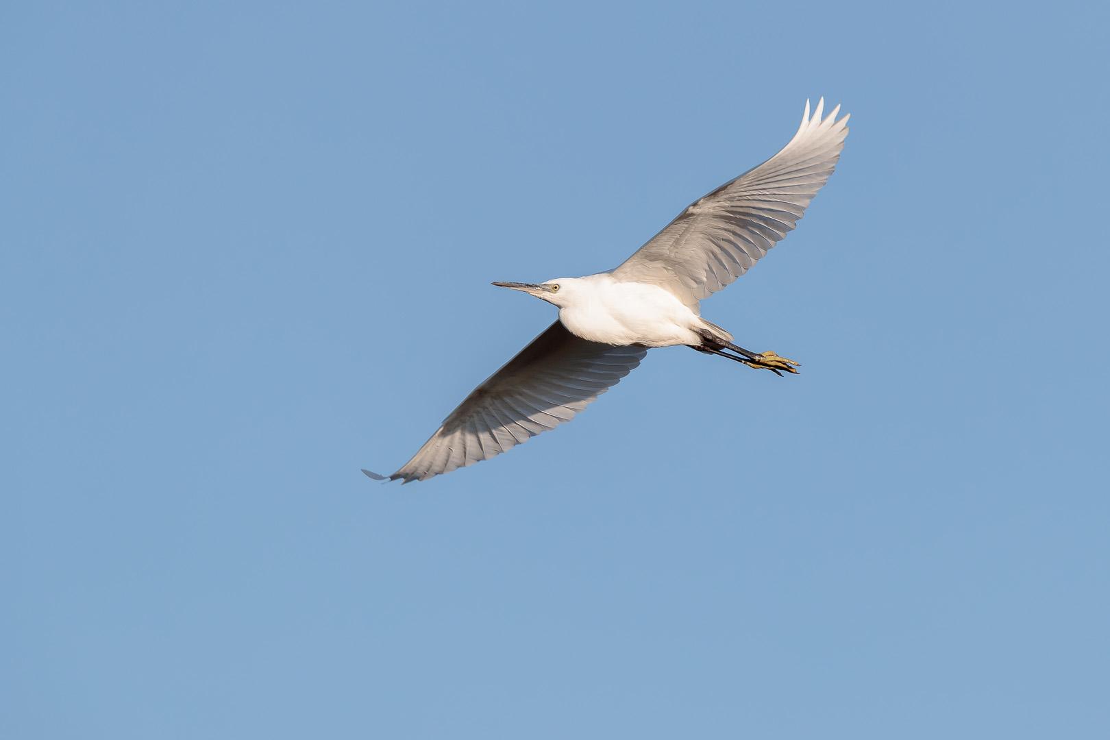 Little egret flying over a lagoon at Snettisham.