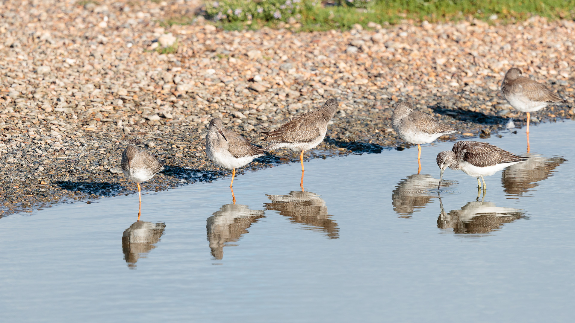 A lone greenshank in the company of redshanks.