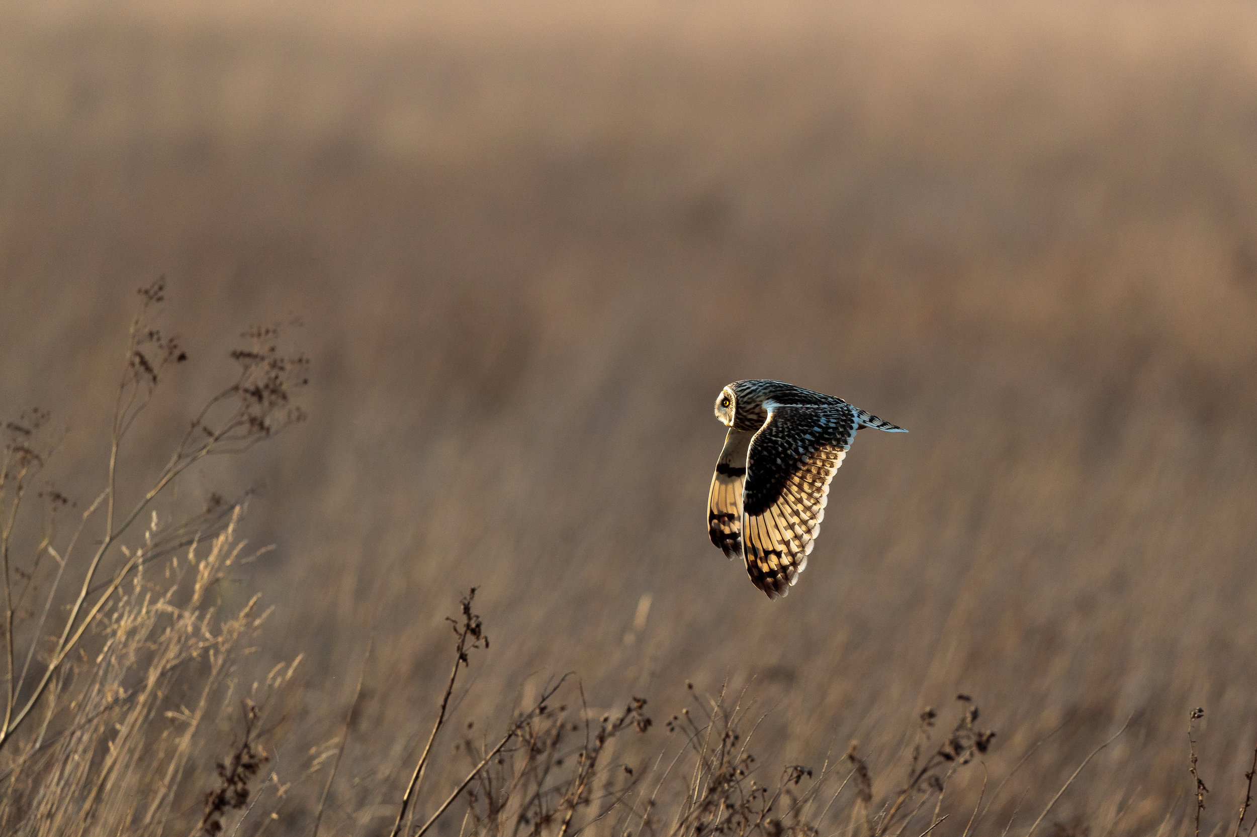Short eared owl hunting in evening light at Burwell Fen