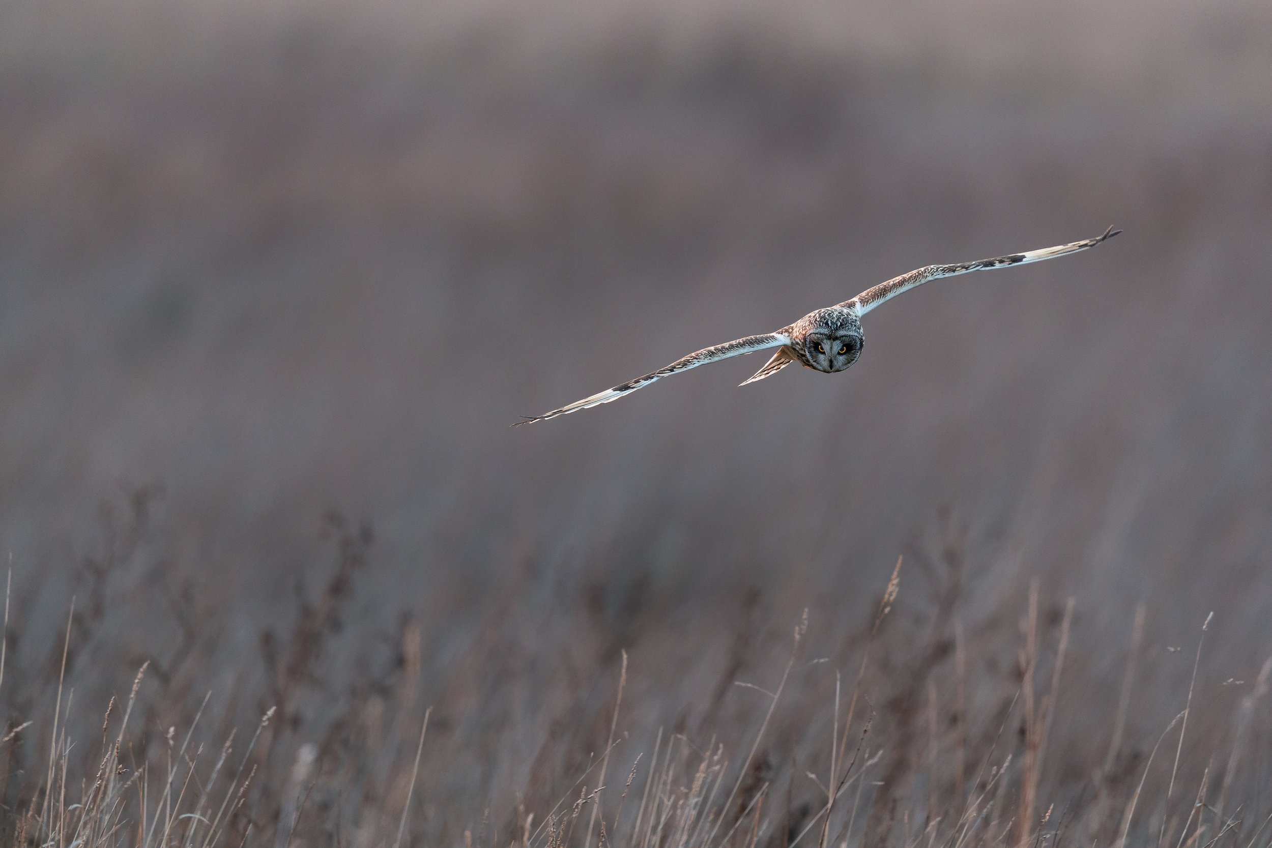 Short eared owl hunting in the long grass