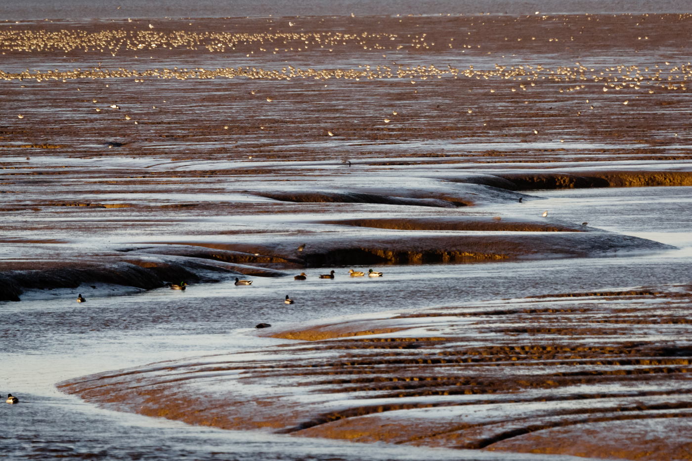 Waders on mudflats in The Wash as the tide ebbs
