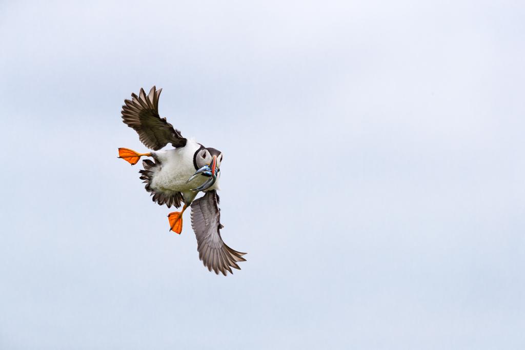 Puffin in flight with sandeedls.jpg