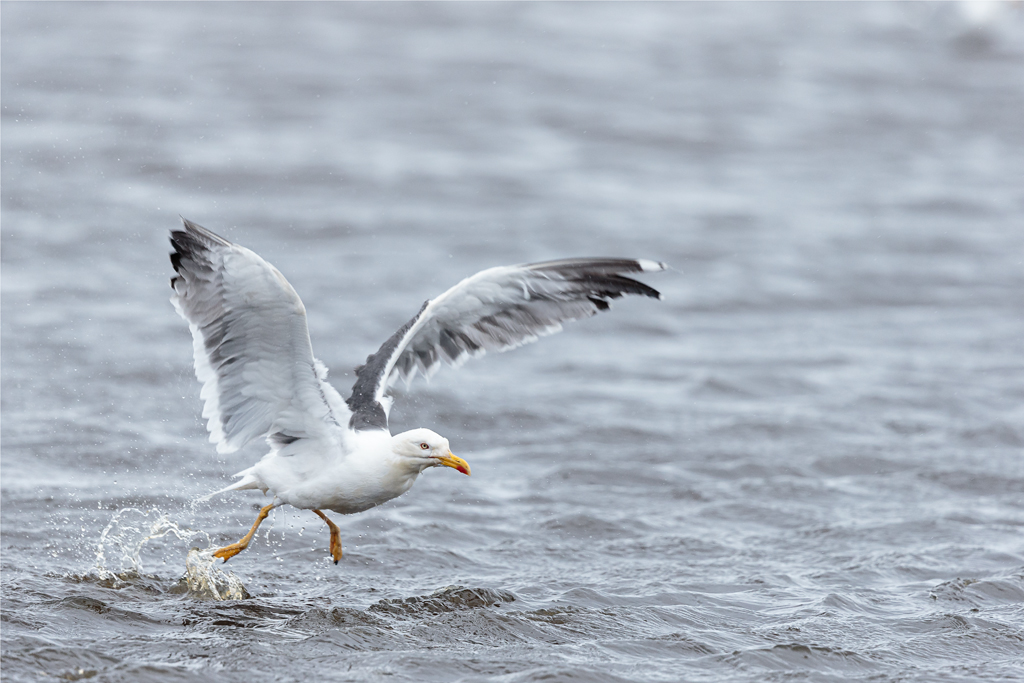 Lesser black-backed gull leaving the North Pond after bathing
