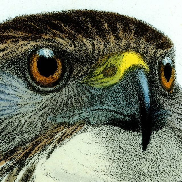 Smit was popular illustrator of birds, around 1890, and this closeup demonstrates how distinctly expressive he records the attitude of birds. It's as if the bird is beaming concentration to the viewer.  #Audubon #falcon #eyes #eyeseeyou #bird #society #chromolithograph #chromolithography #illustration #birditude