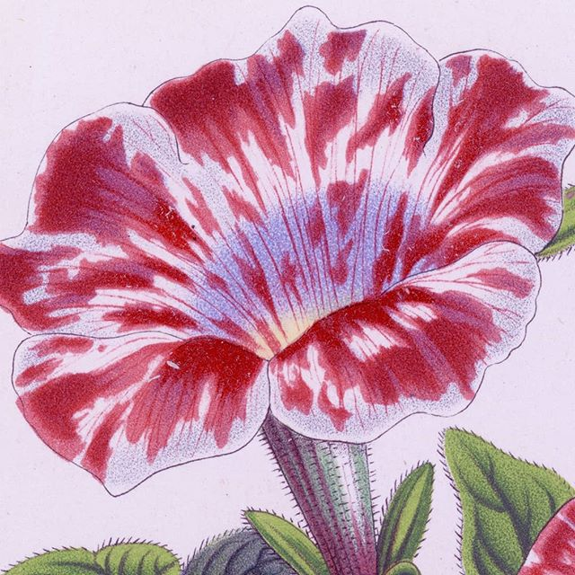 This petunia is unusual for the blush of blue in the center of the flower. . . . . . #flower #pastel #petunia #librariesofinstagram #botany #petun #tobacco #Solanaceae #chromolithograph #interiordesign