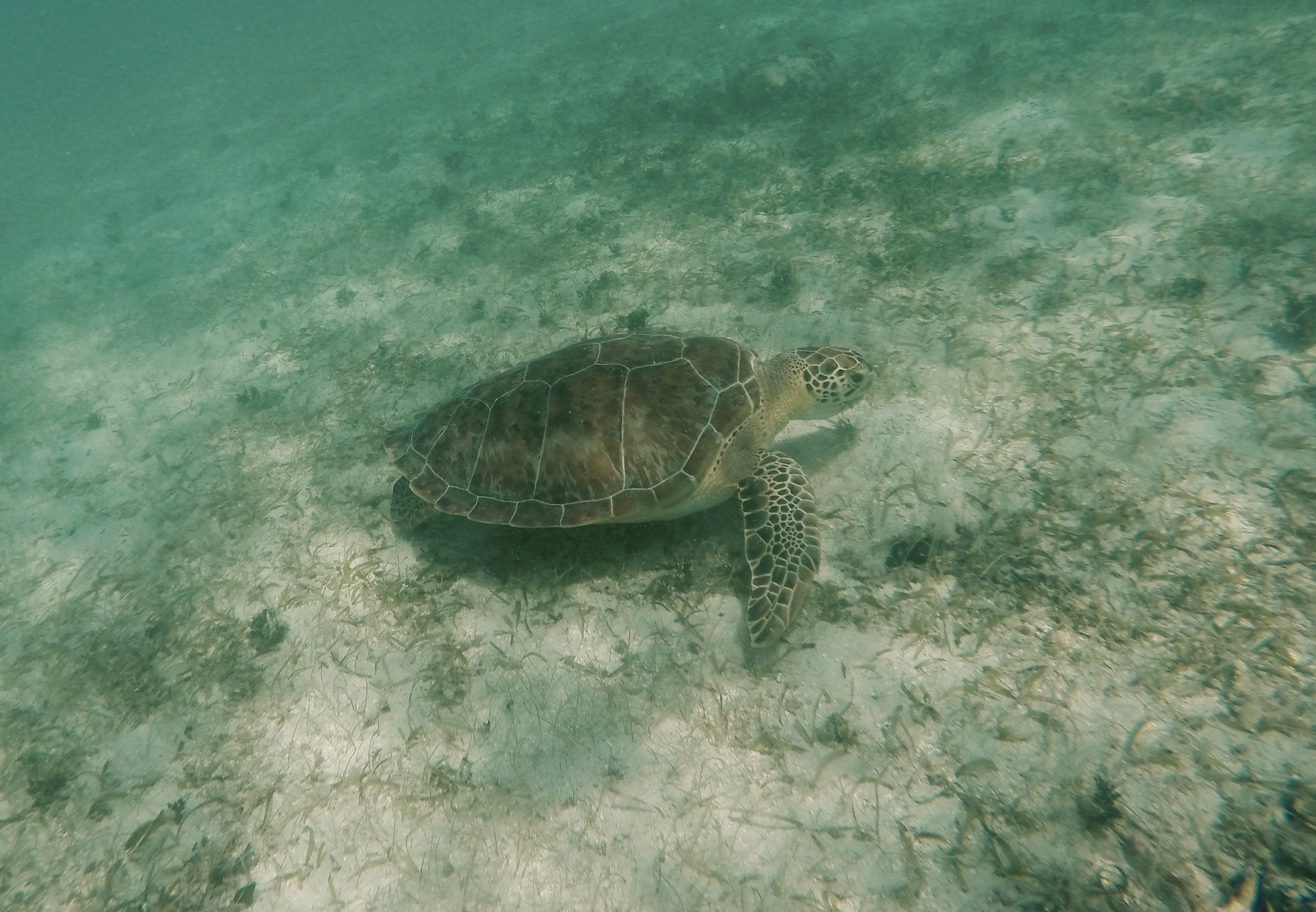 Turtle in Maho Bay