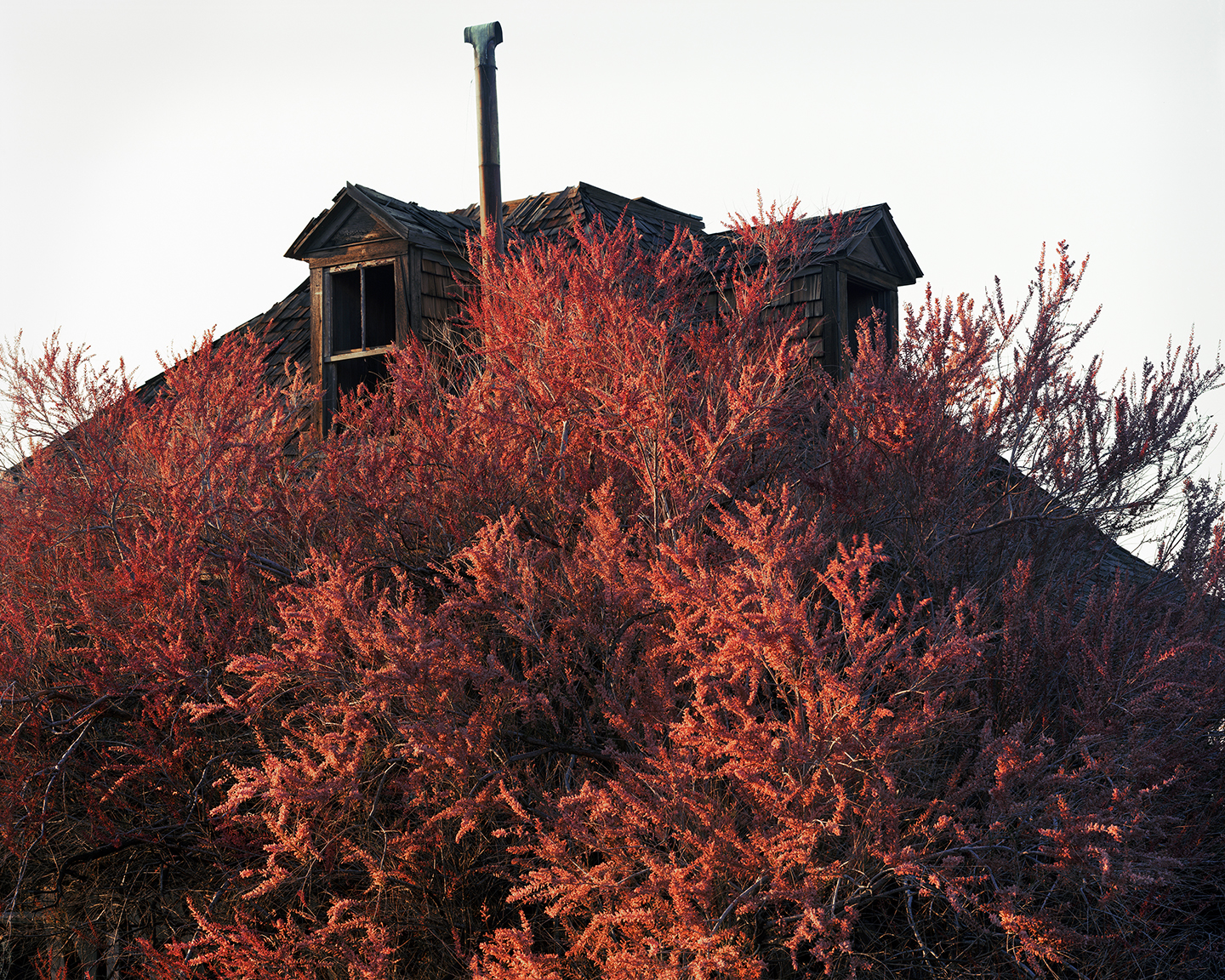 Blooming Tamarisk (in the town where my great-grandmother died), Goldfield, Nevada, 2015
