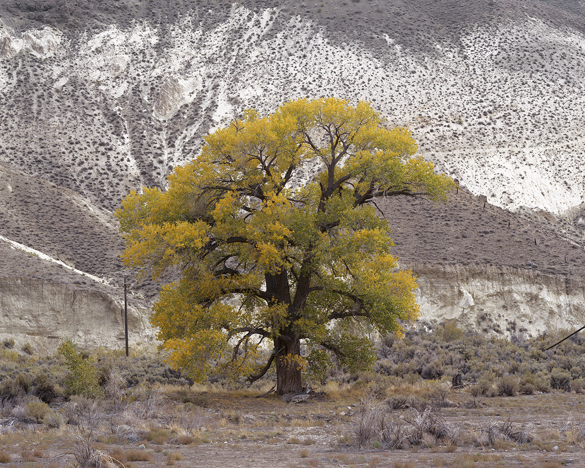 Cottonwood Under Chalk Bluff by the Truckee River, Washoe County, Nevada, 2014