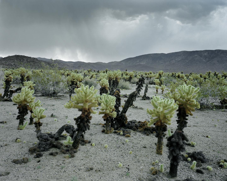 Electrical Storm and Cholla Cactus, Joshua Tree National Park, California, 2015