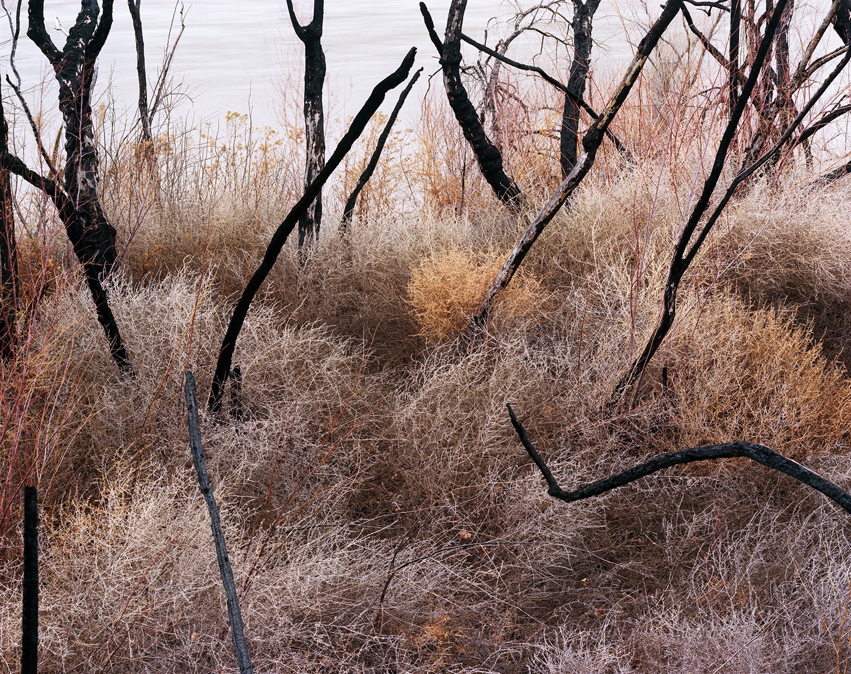 Invasive Asian Tamarisk burned by the Bureau of Land Management, Colorado River at Dewey Bridge, Utah, 2011