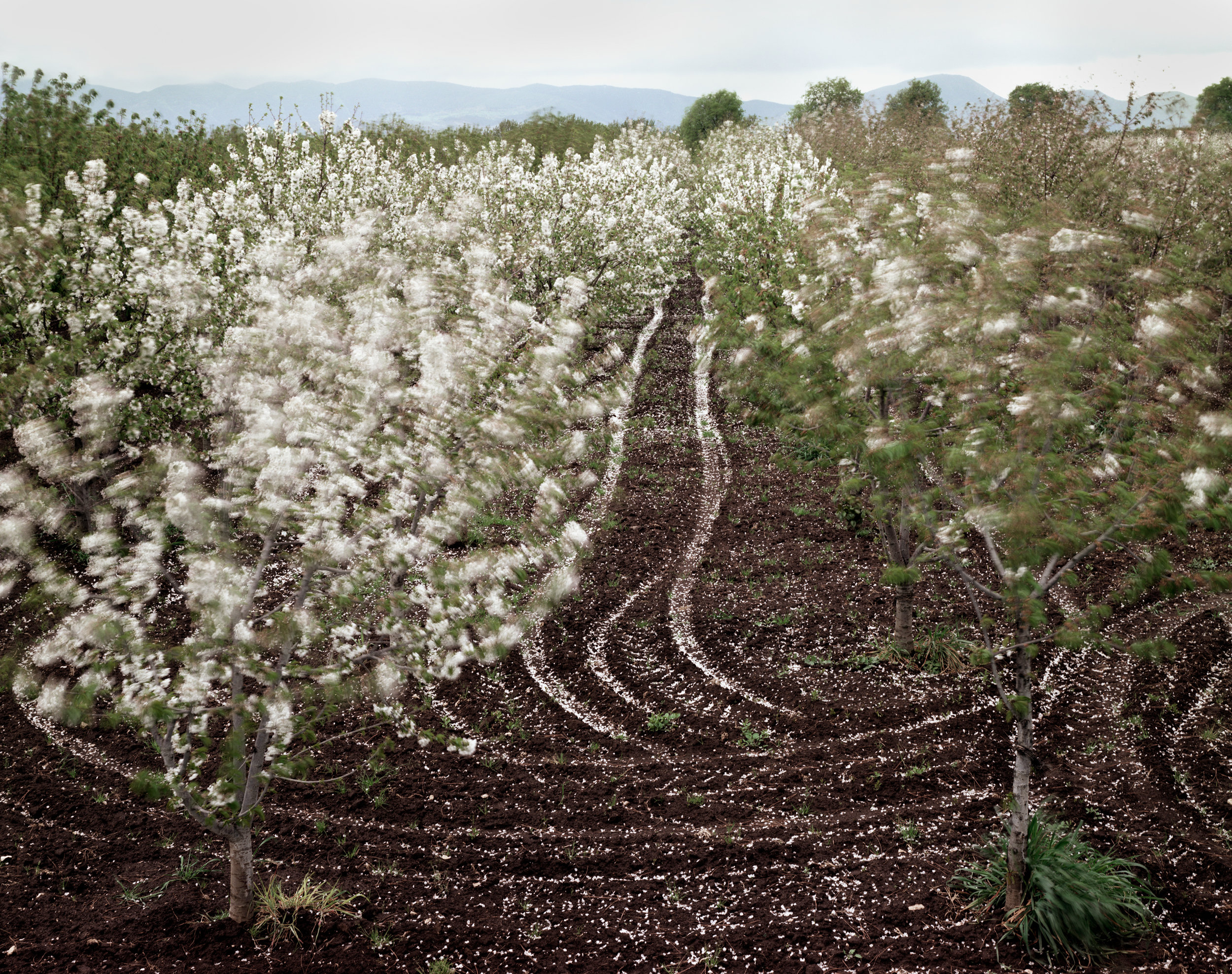 Cherry trees blooming, Sparanise, Italy, 1994