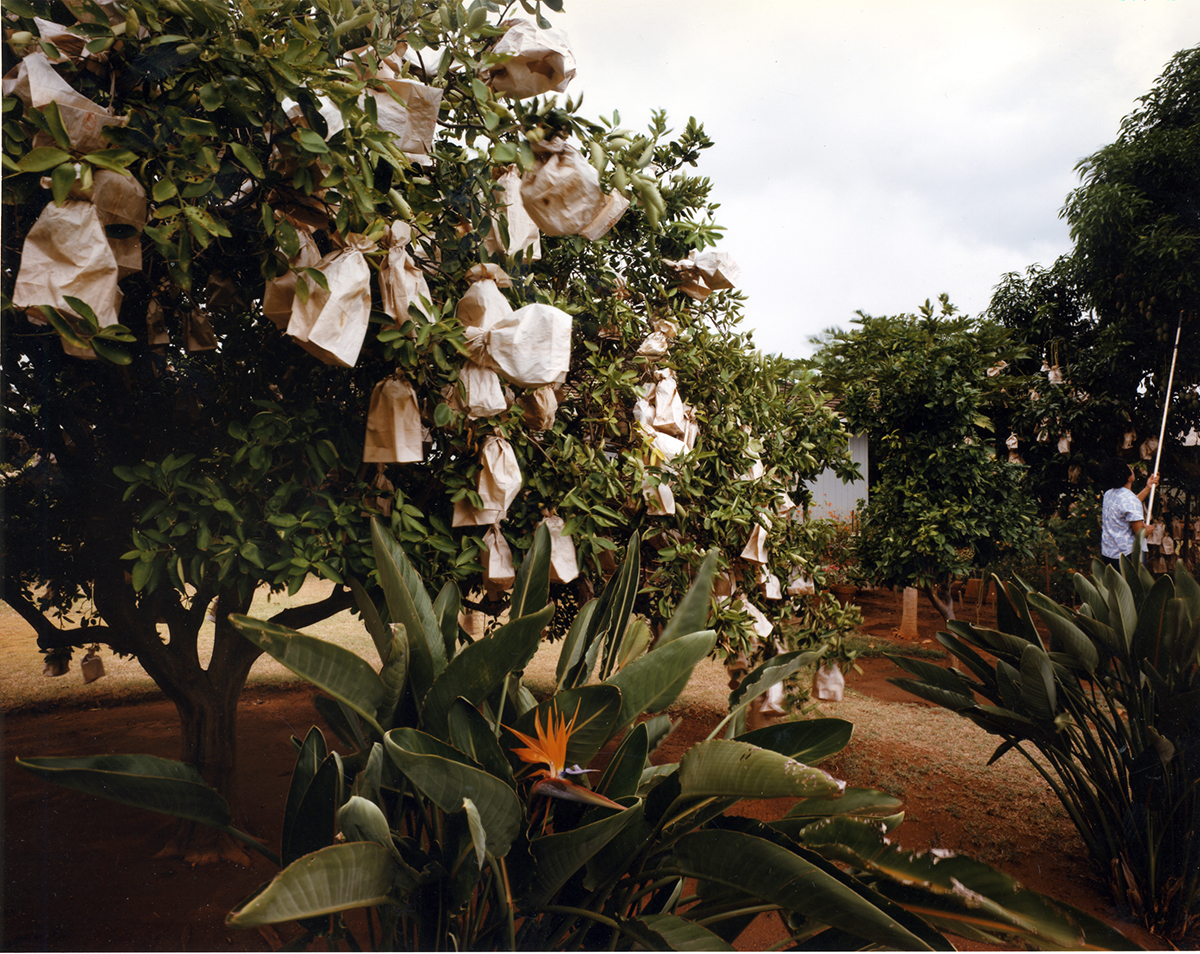 Paper bags protecting navel oranges and mangos from insects, Waimea, Kauai'i, 1991