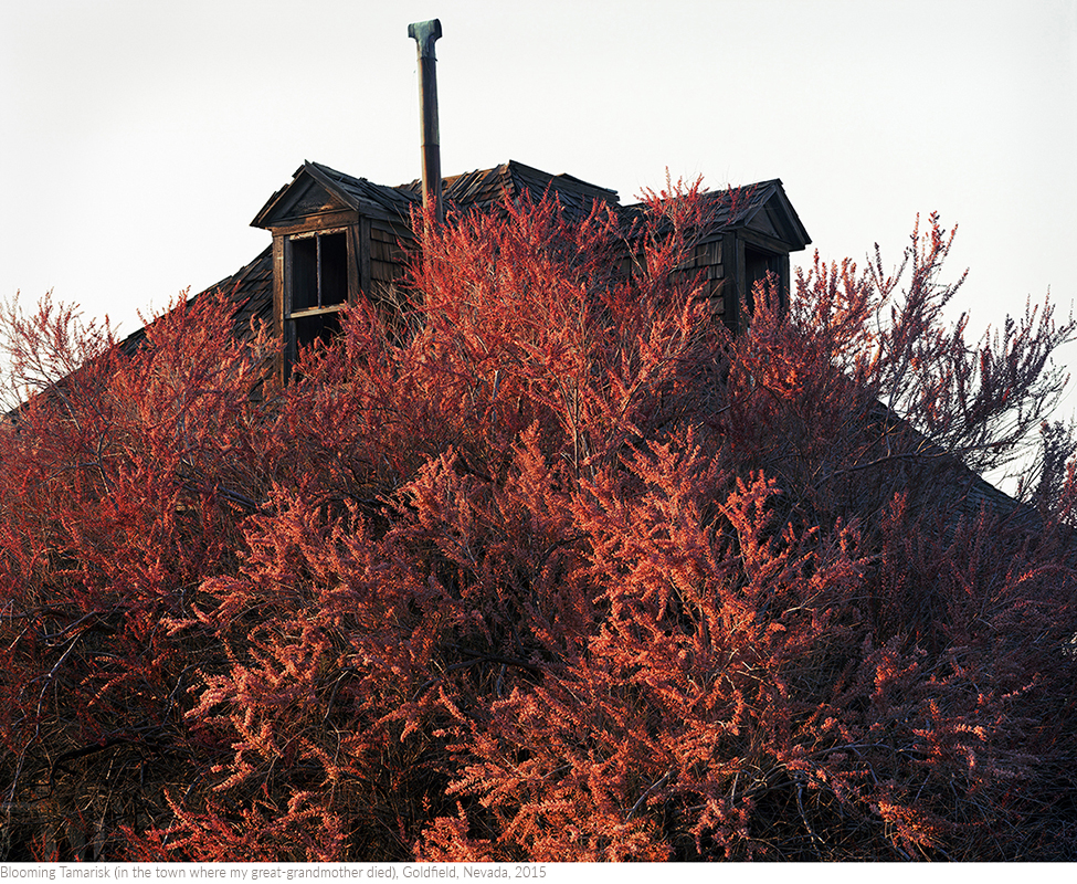 Blooming+Tamarisk+(in+the+town+where+my+great-grandmother+died),+Goldfield,+Nevada,+2015titledsamesize.jpg