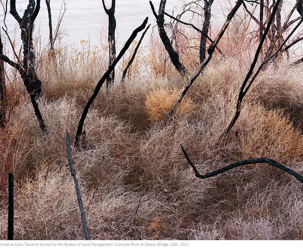 Invasive+Asian+Tamarisk+burned+by+the+Bureau+of+Land+Management,+Colorado+River+at+Dewey+Bridge,+Utah,+2011titledsamesize.jpg