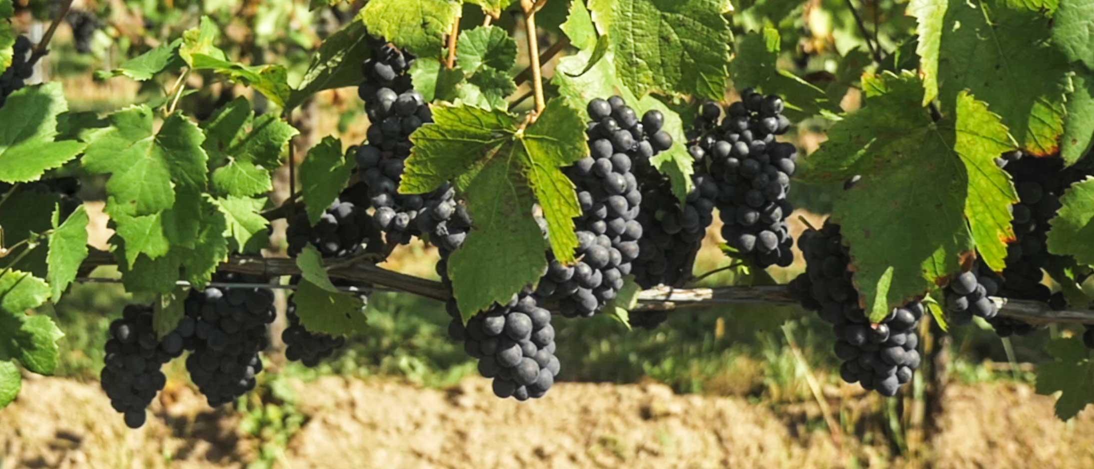 Luftaufnahme-Wein.jpg