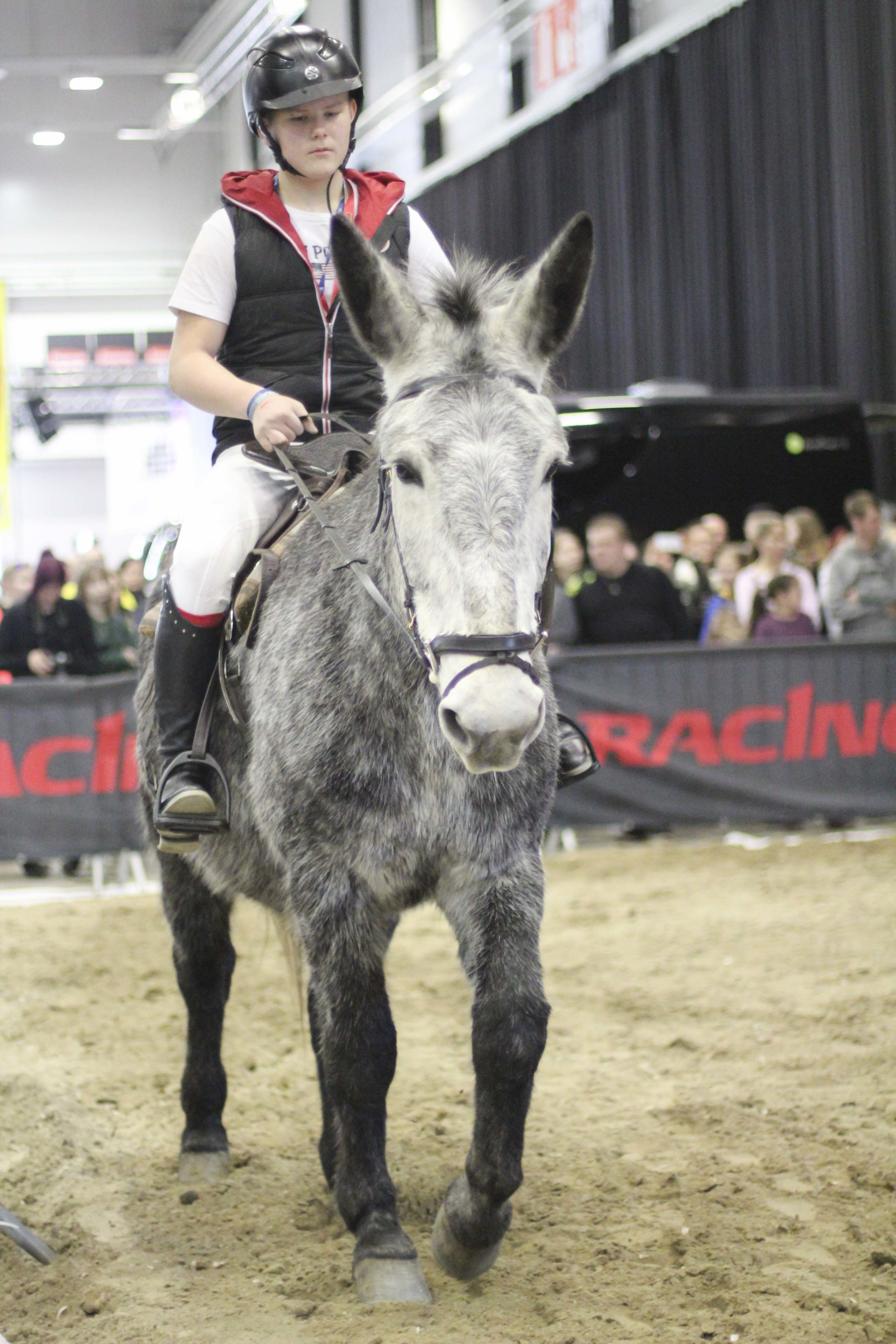 The grey Percheron mule who attended the Horse Fair with Kaisa. Photo by Johanna Plyhm
