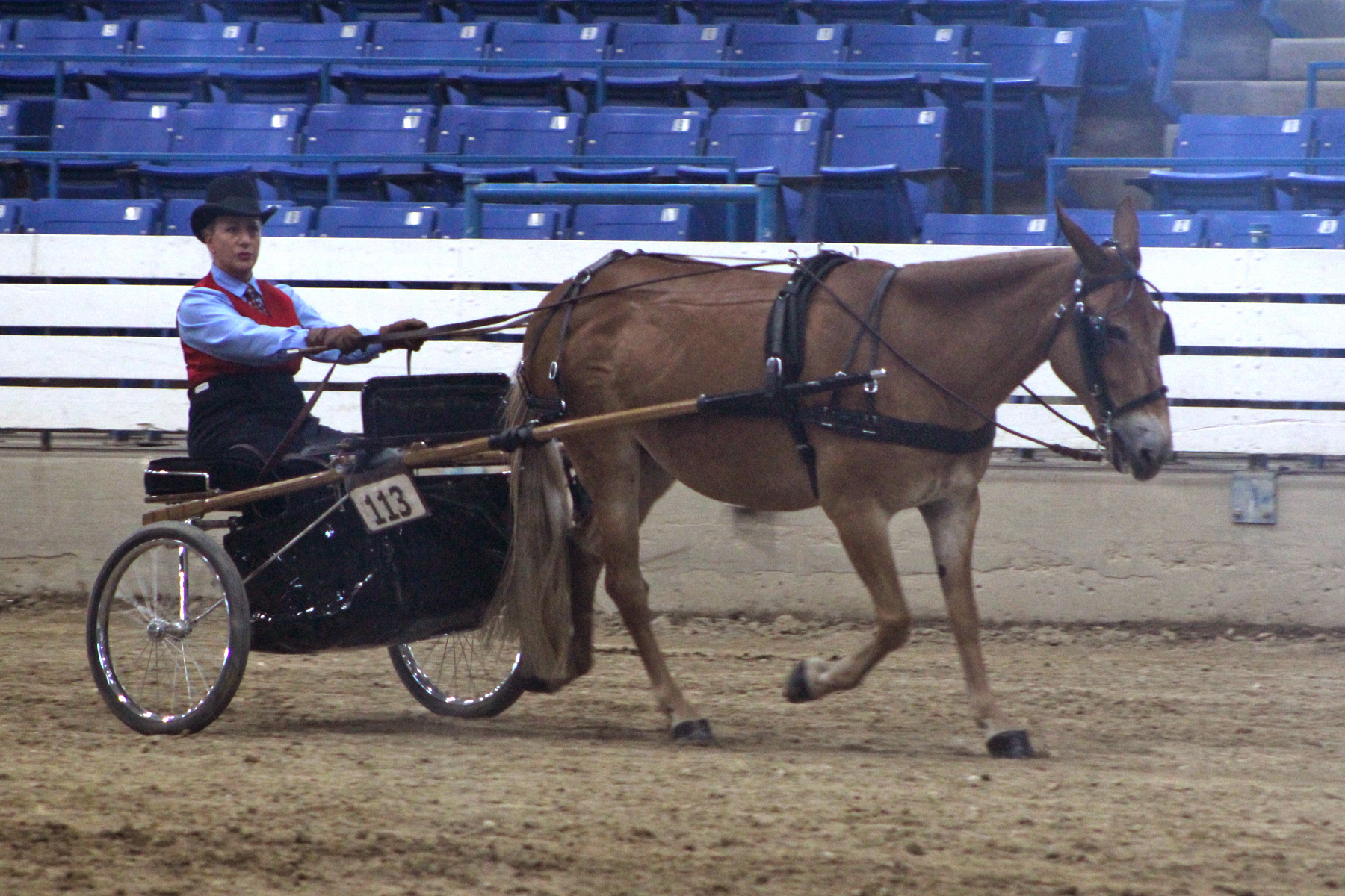 Perfect Percy and Shelley Reddish won National Champion Mule Obstacle Driving , National Champion Pleasure Driving Mule, and National Champion Mule Pleasure Driving Turnout