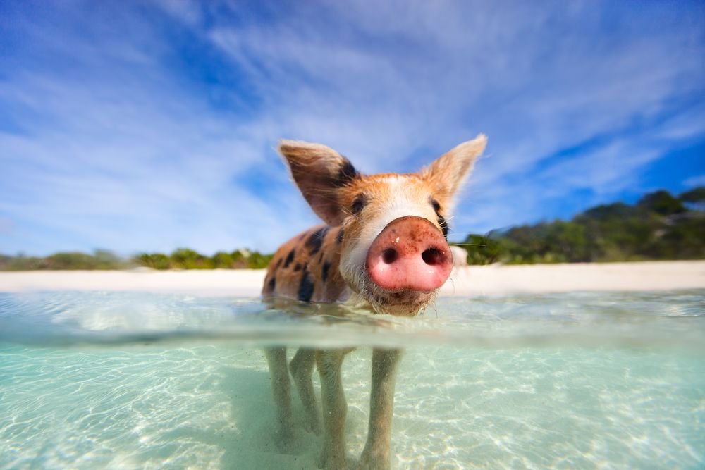 Swimming Pigs- Major Cay