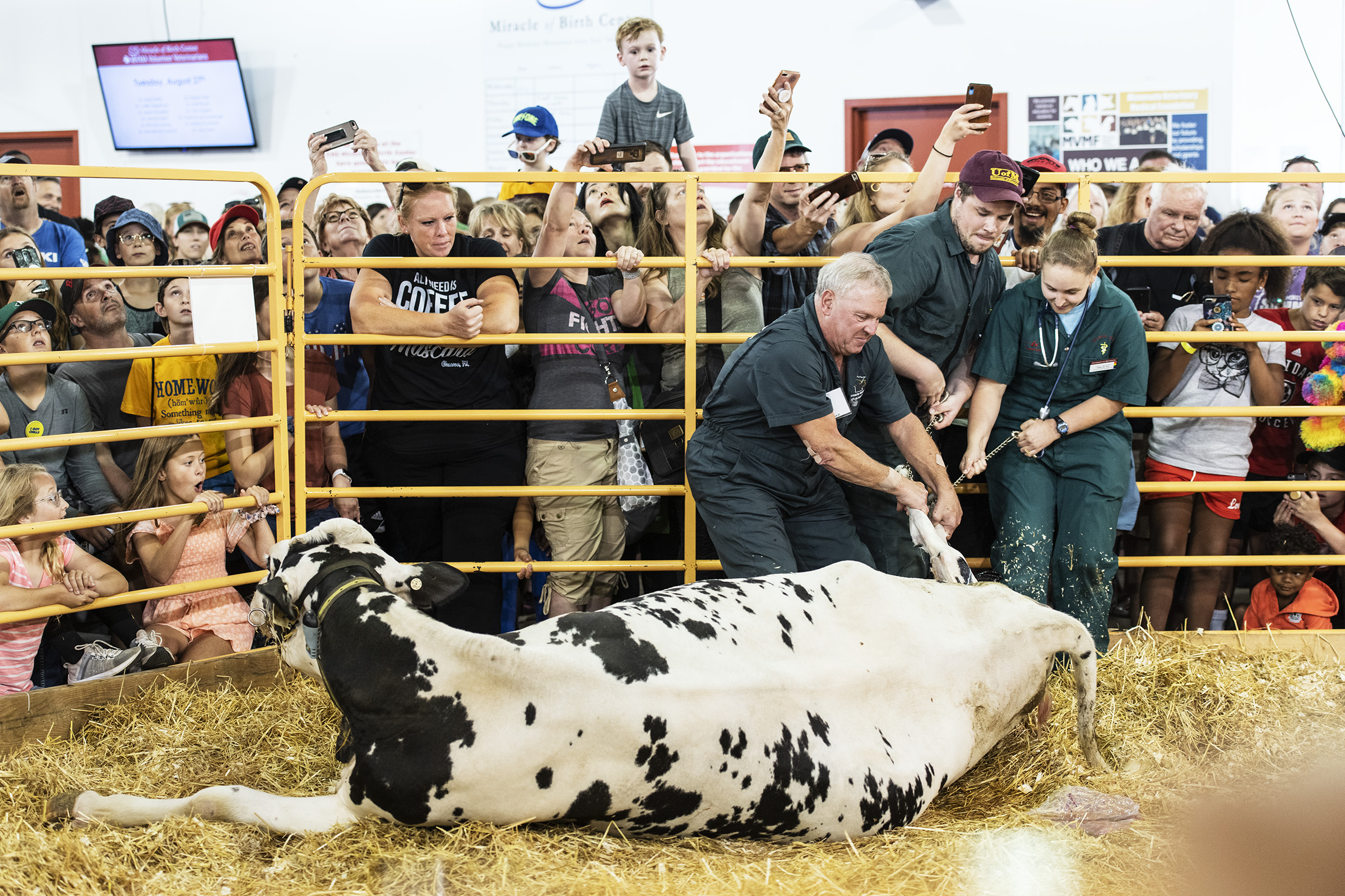 A crowd watches as a cow births a calf at the Miracle of Life building at the Minnesota State Fair in St. Paul, MN on August 23, 2019.