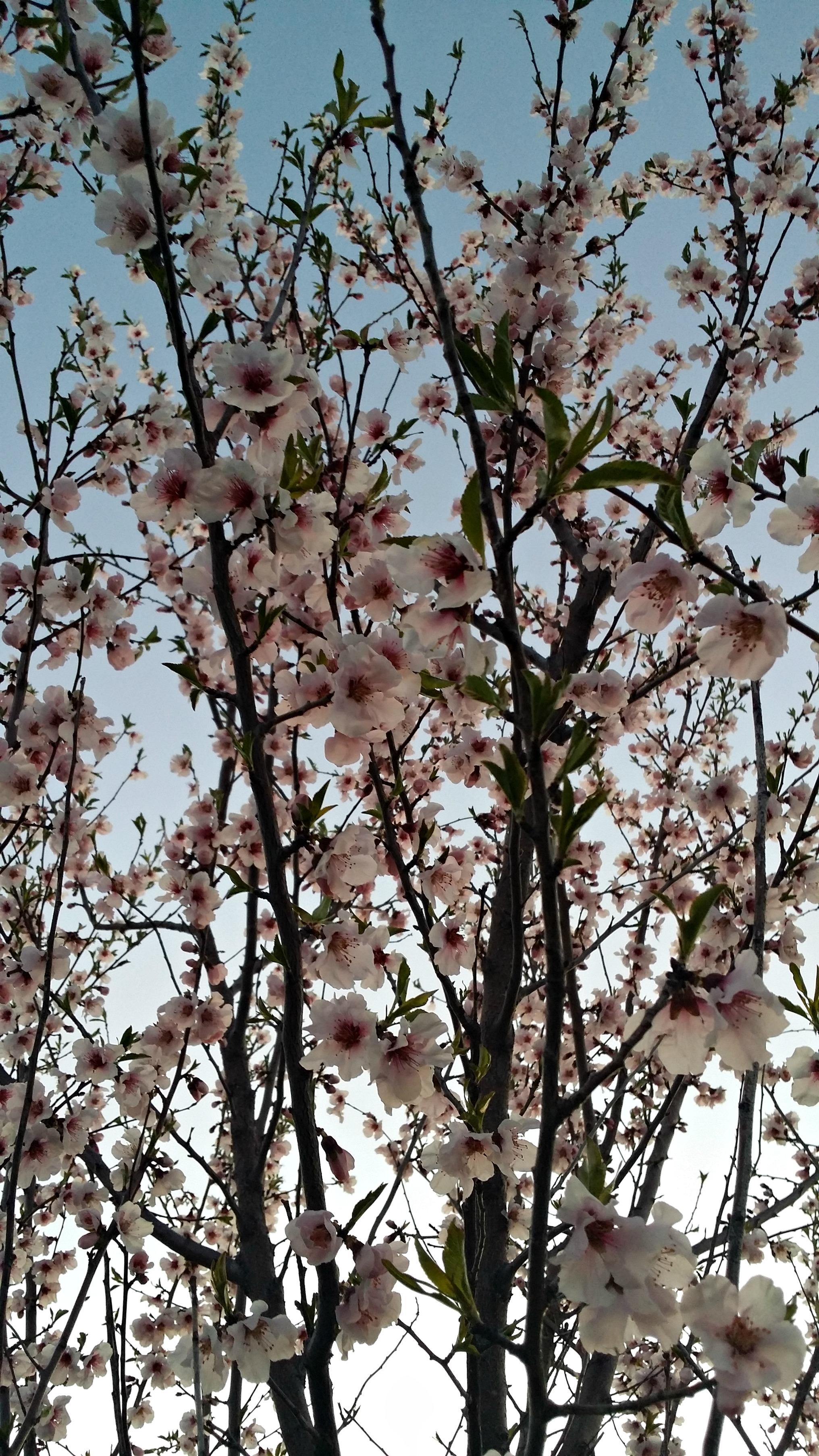 Peach Blossoms