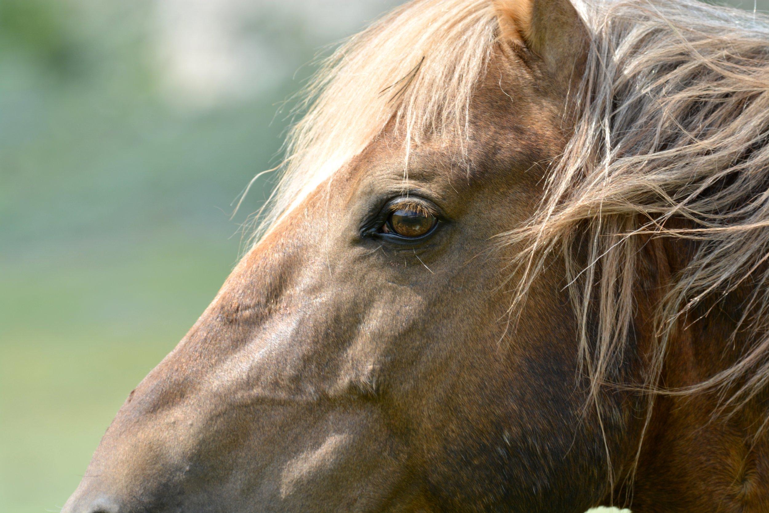 Wild pryor mountain horse Boulder