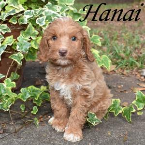 Hanai - SOLD