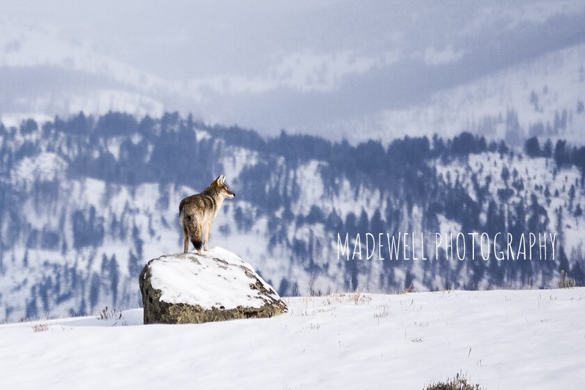 Coyote in Lamar Valley, Yellowstone National Park.