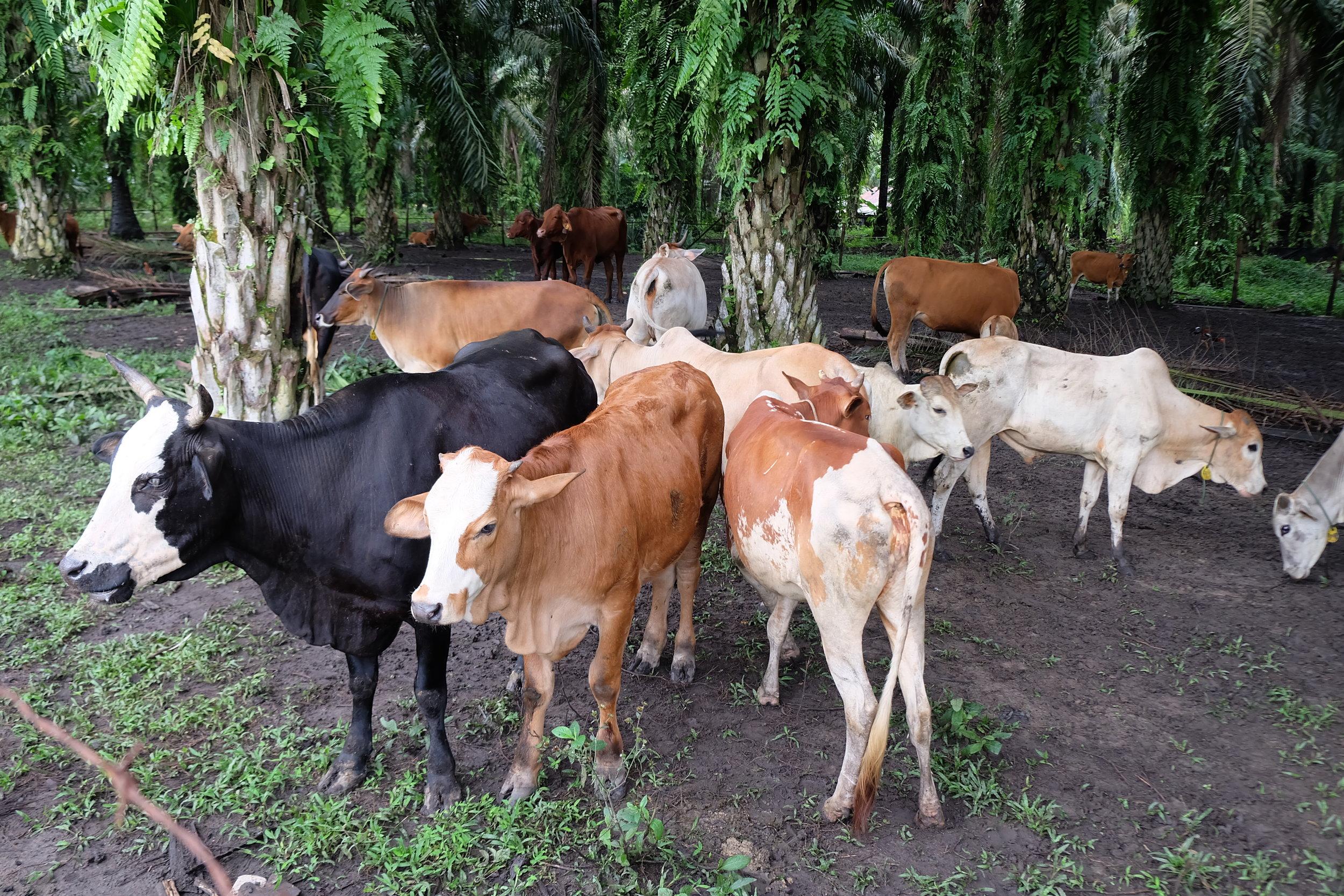 Puja Kesuma Co-operative cattle grazing within the plantation.