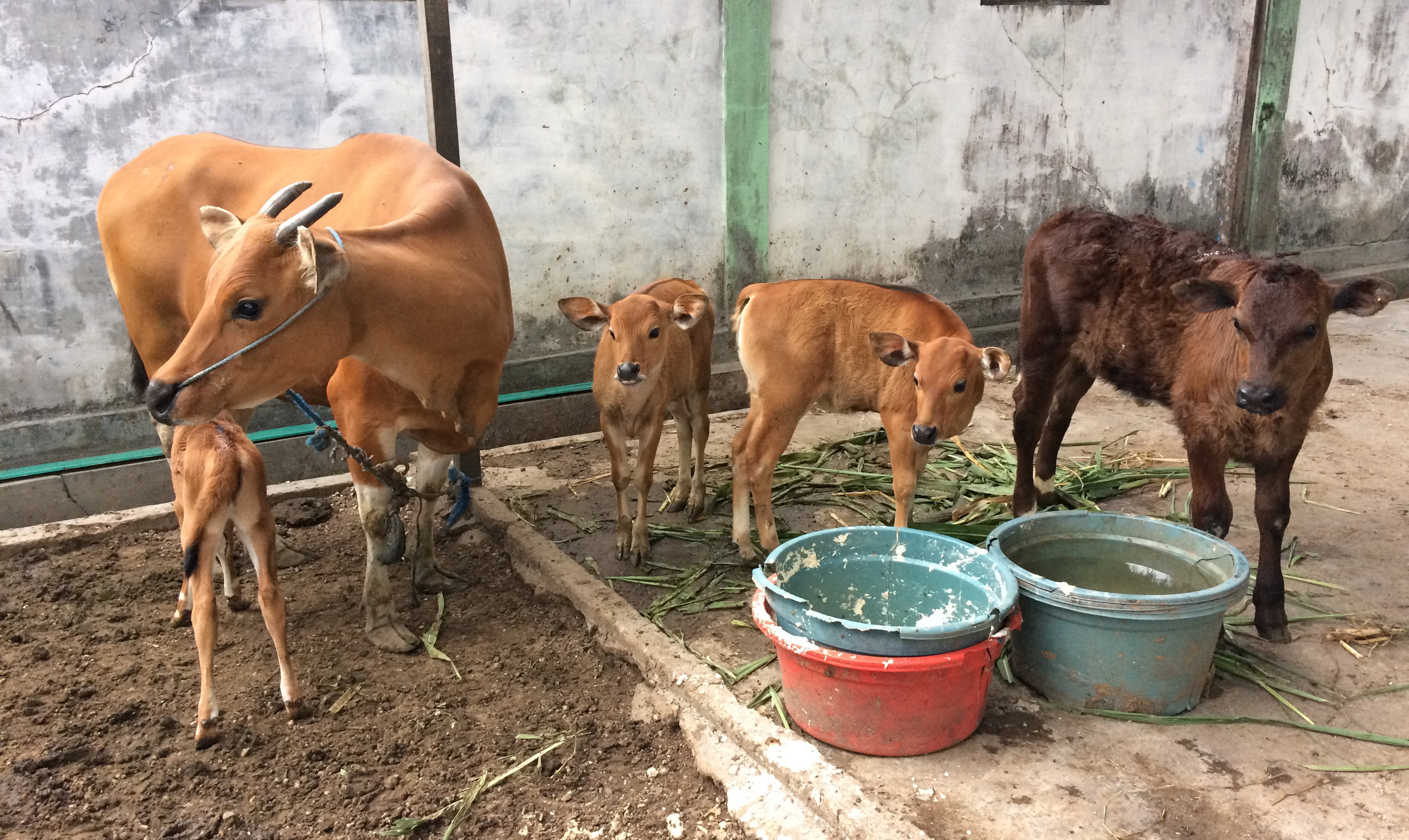 Bali cow with Bali and Simmental cross calves at a tofu factory and cattle fattening operation in Banjarbaru.