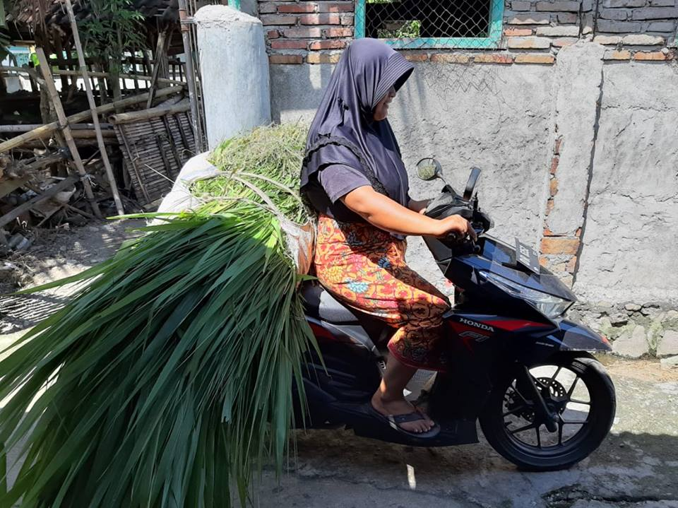 A female farmer brings forage on her motorbike to the Nyerot farmer group Kandang in Central Lombok.  Photo: Tanda Panjaitan