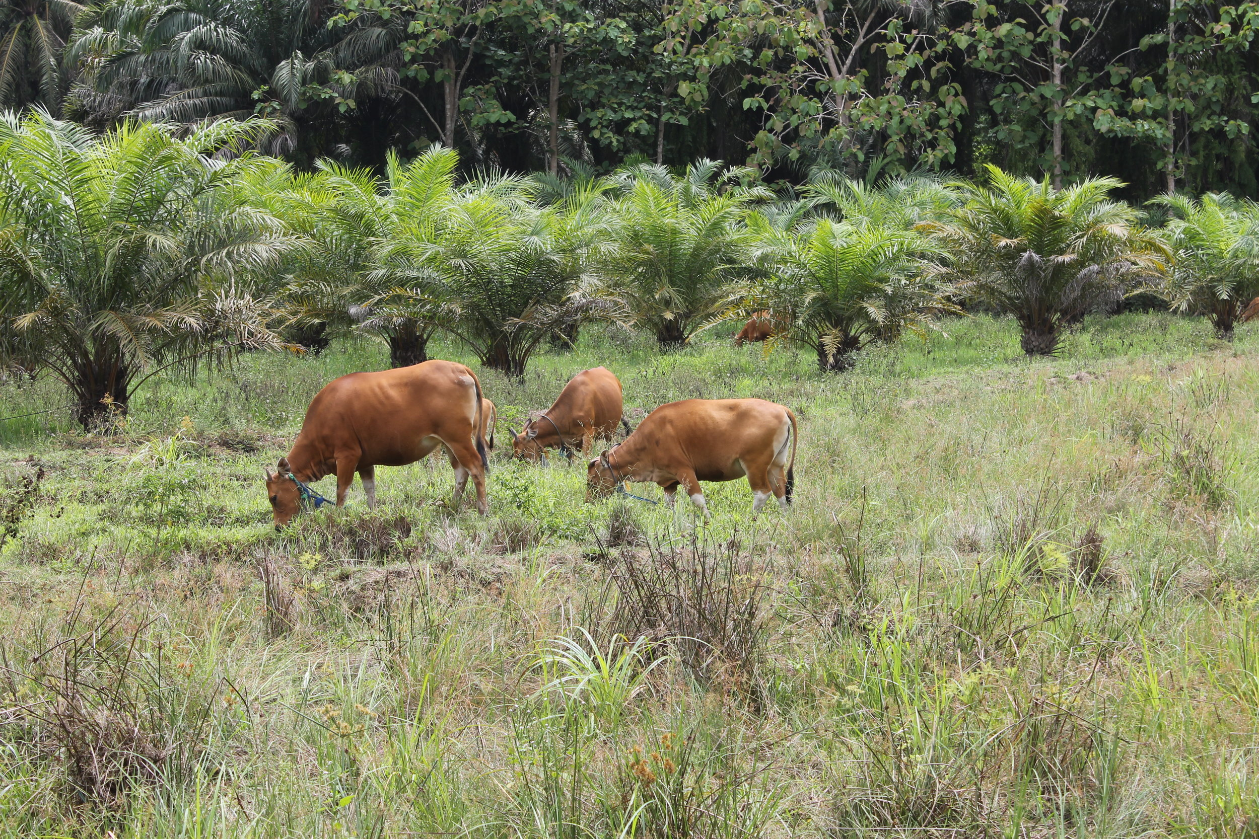 Bali cattle in an extensive grazing system incorporating oil palm plantations in Paser District, East Kalimantan.