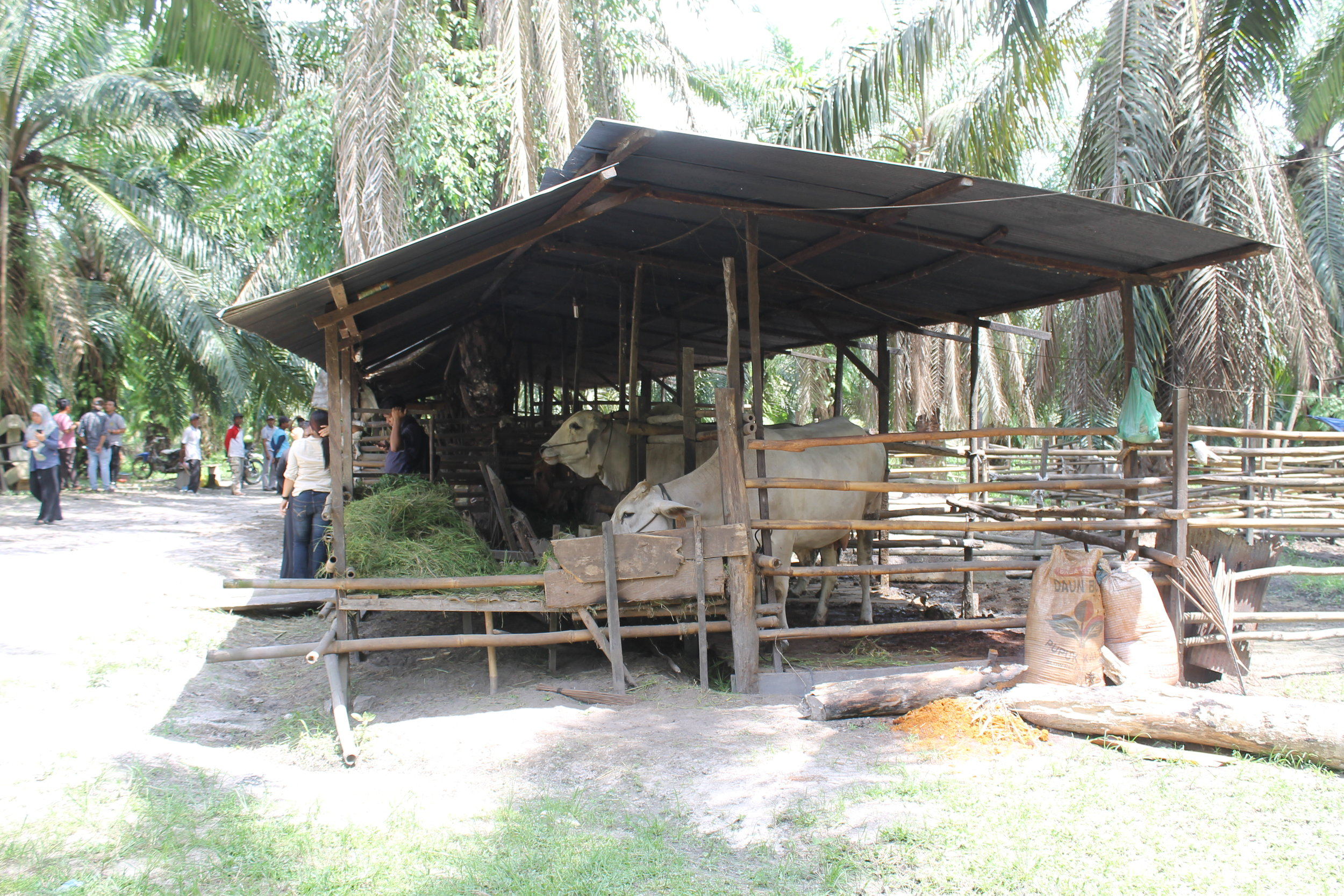 A breedlot kendang in Sumber Makmur village, East Kalimantan.