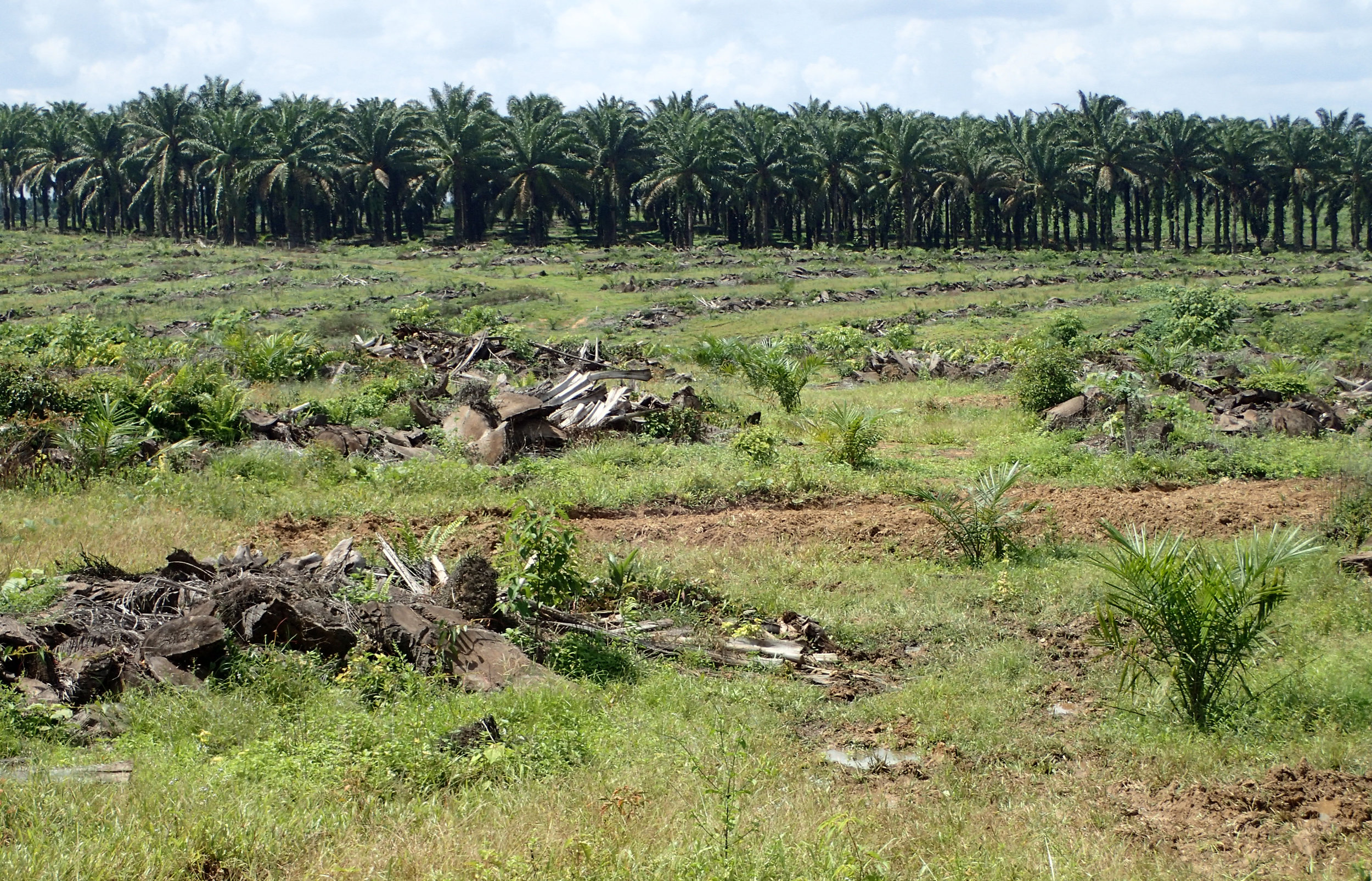 Recently planted oil palms in Cinta Damai, Musi Banyuasin District, South Sumatra.