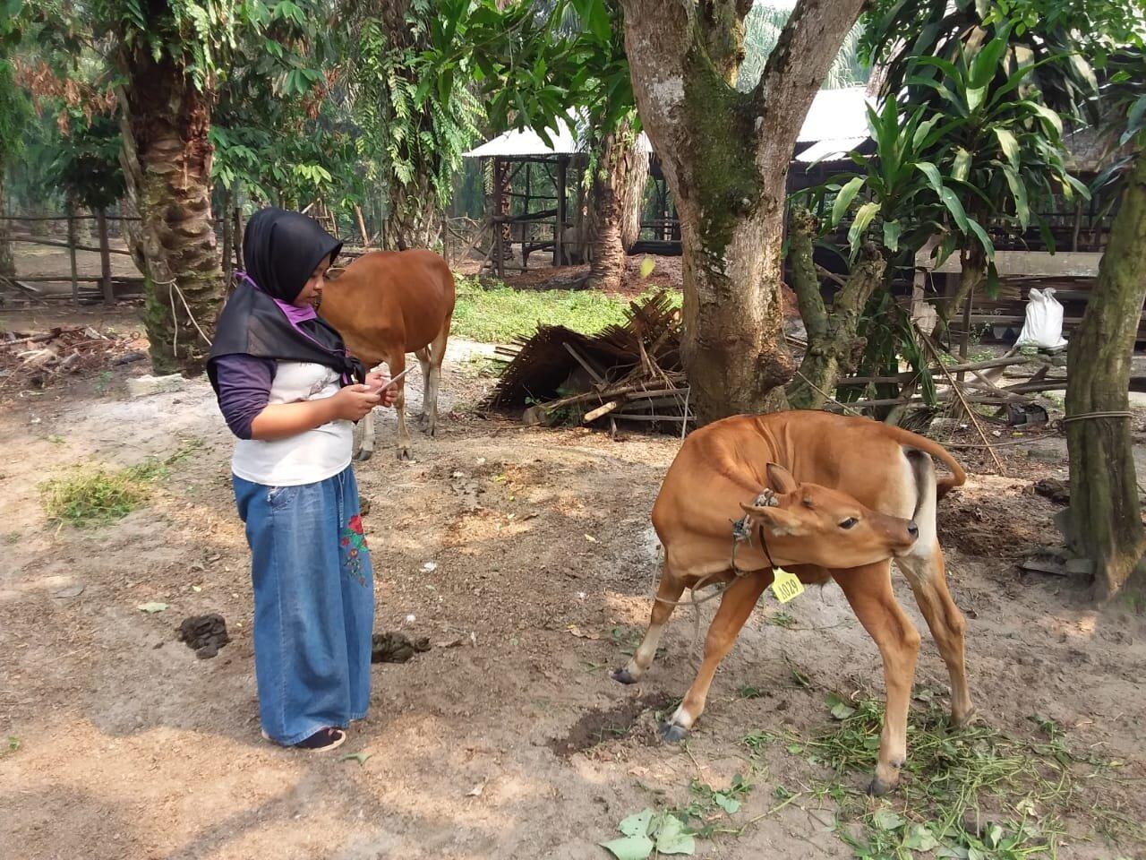 Field Officer Ms Henni Rahmawati collecting animal production data in Riau, September 2019.  Photo: Yeni Widiawati