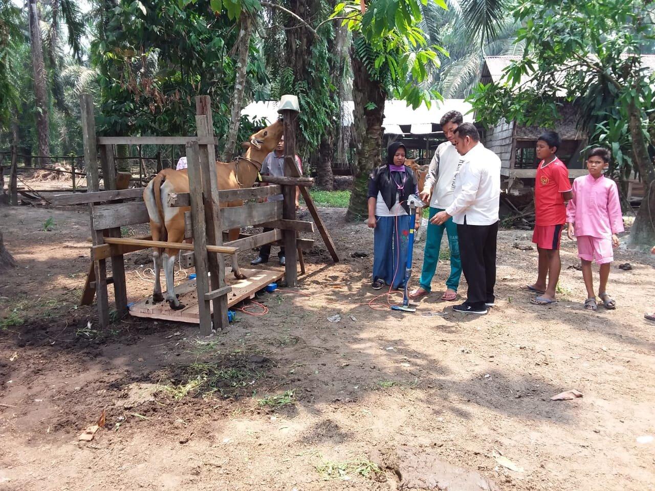 Weighing cattle, Gading Sari village, Kampar district, Riau, September 2019.  Photo: Yeni Widiawati
