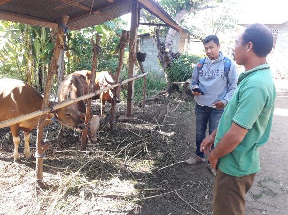 Mr Fahrul Irawan (L) interviewing Pak Made Riga, who uses Leucaena for breeding cows in Sumbawa district.  Photo: Fahrul Irawan