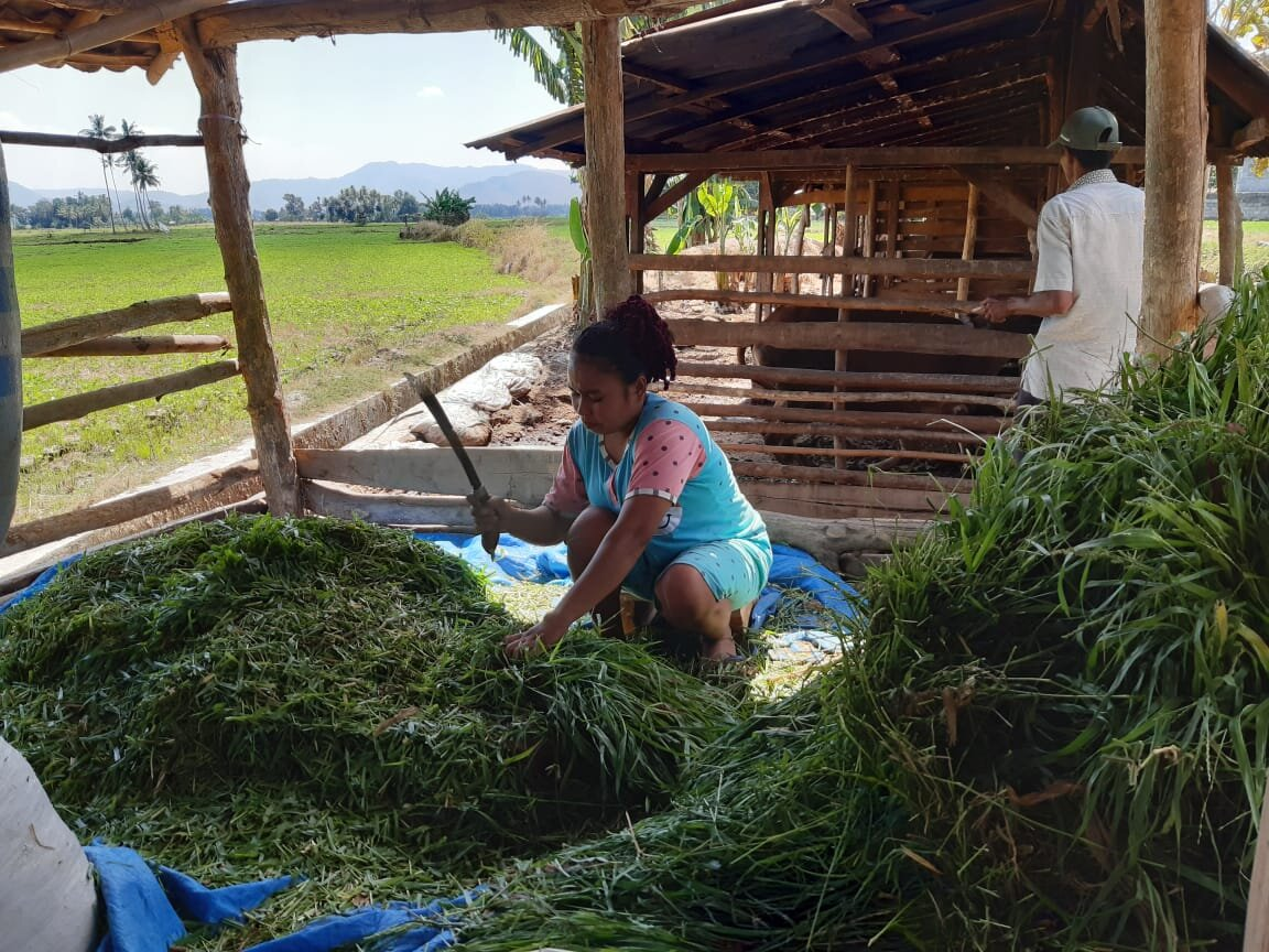 Cutting grass to feed cattle, Ni-u Monca farmer group.  Photo: Fitriyani Susanti