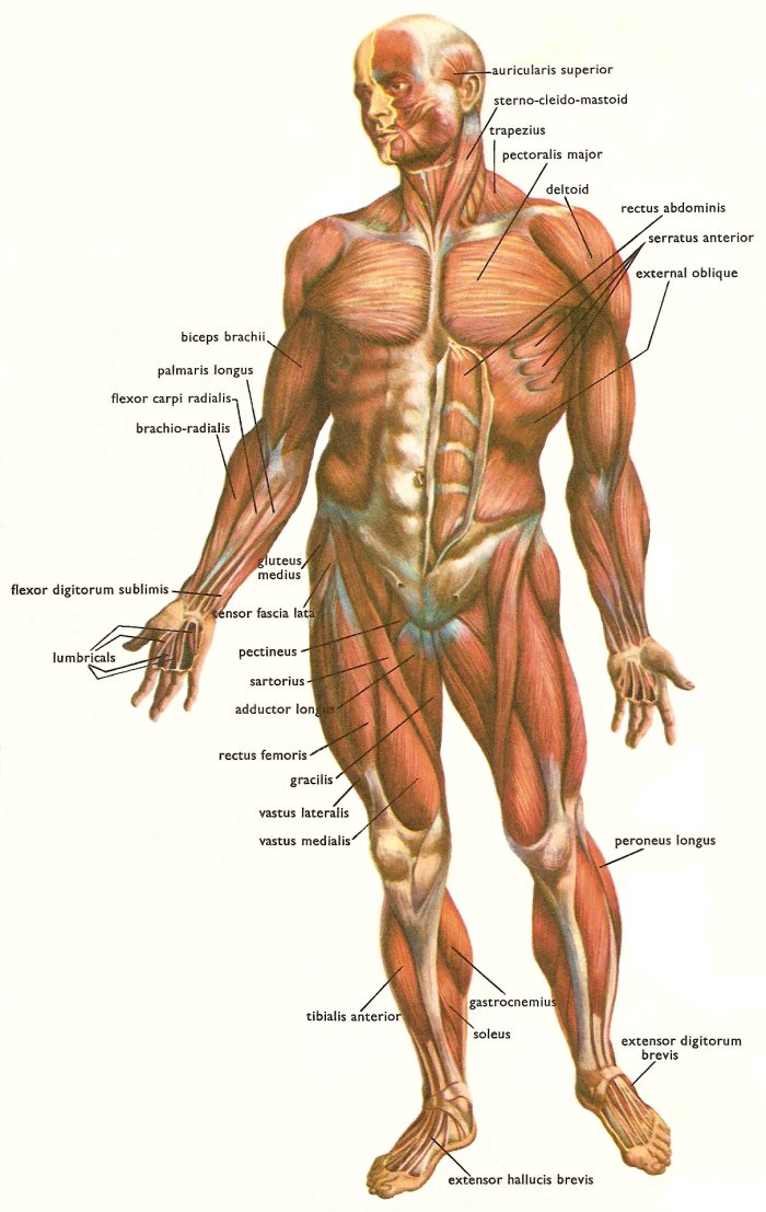 muscles_human_body_front.jpg