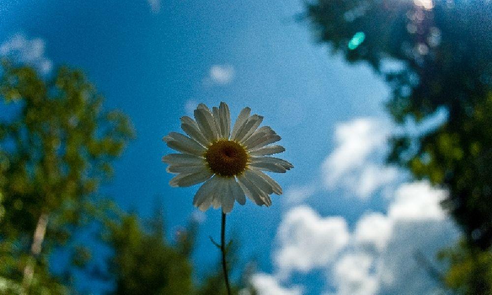 Laura Camozzi daisy.jpg