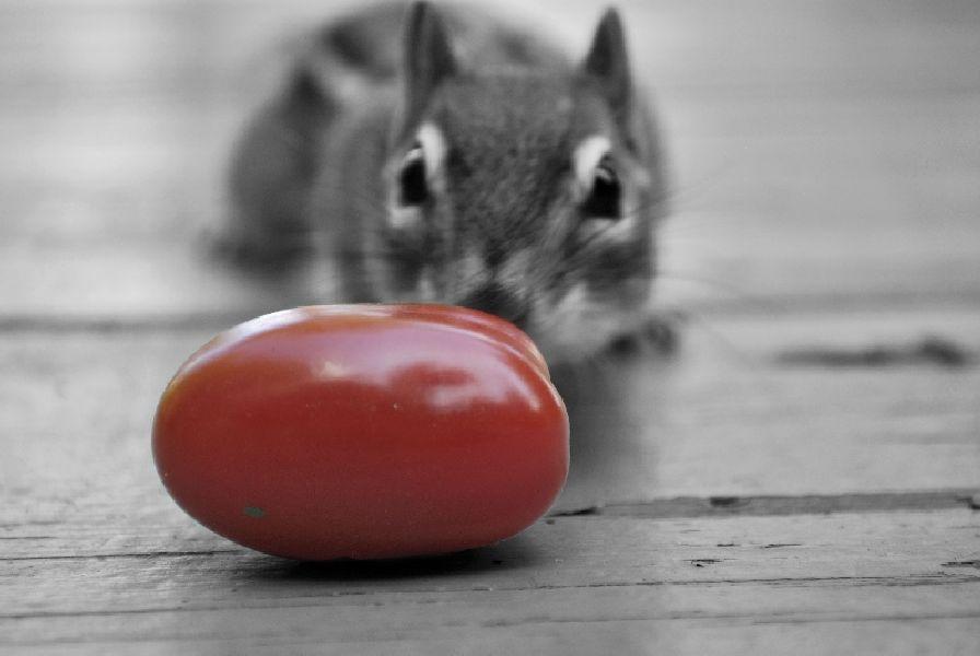 laura camozzi tomato.jpg