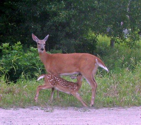 deer and fawn barb bader.jpg
