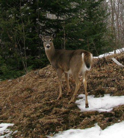 deer Barb Bader.jpg