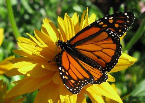 yellow butterfly b bader.jpg