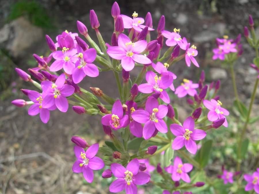 centaurium-erythraea359.jpg