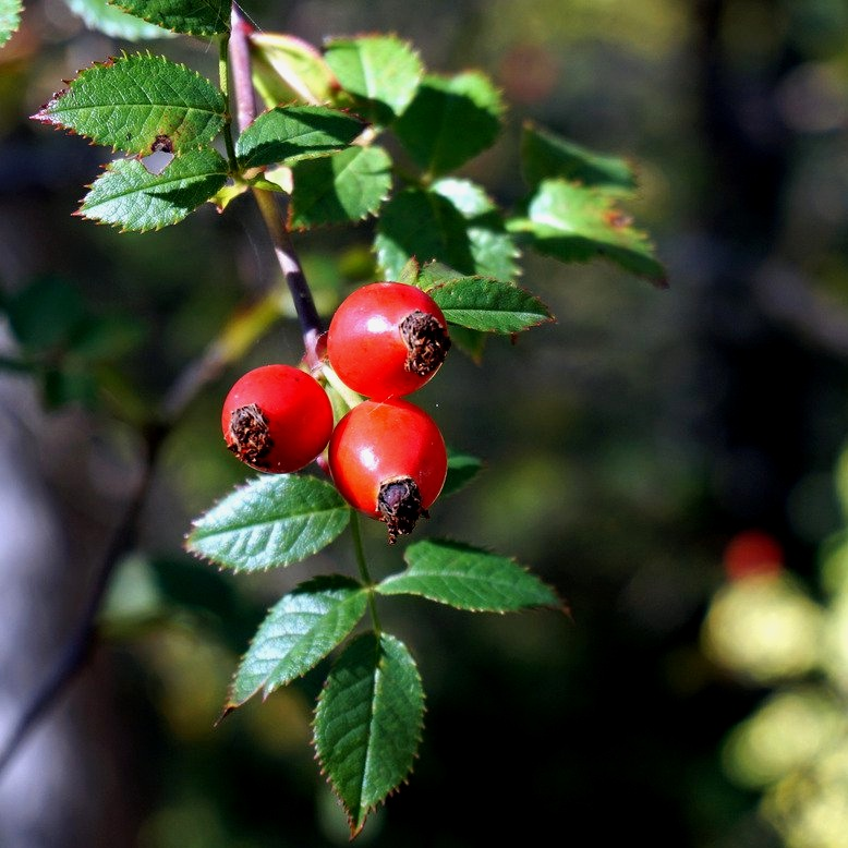 FEATURING the best natural and organic ingredients - Read about the benefits of rosehip oil in our blog post.