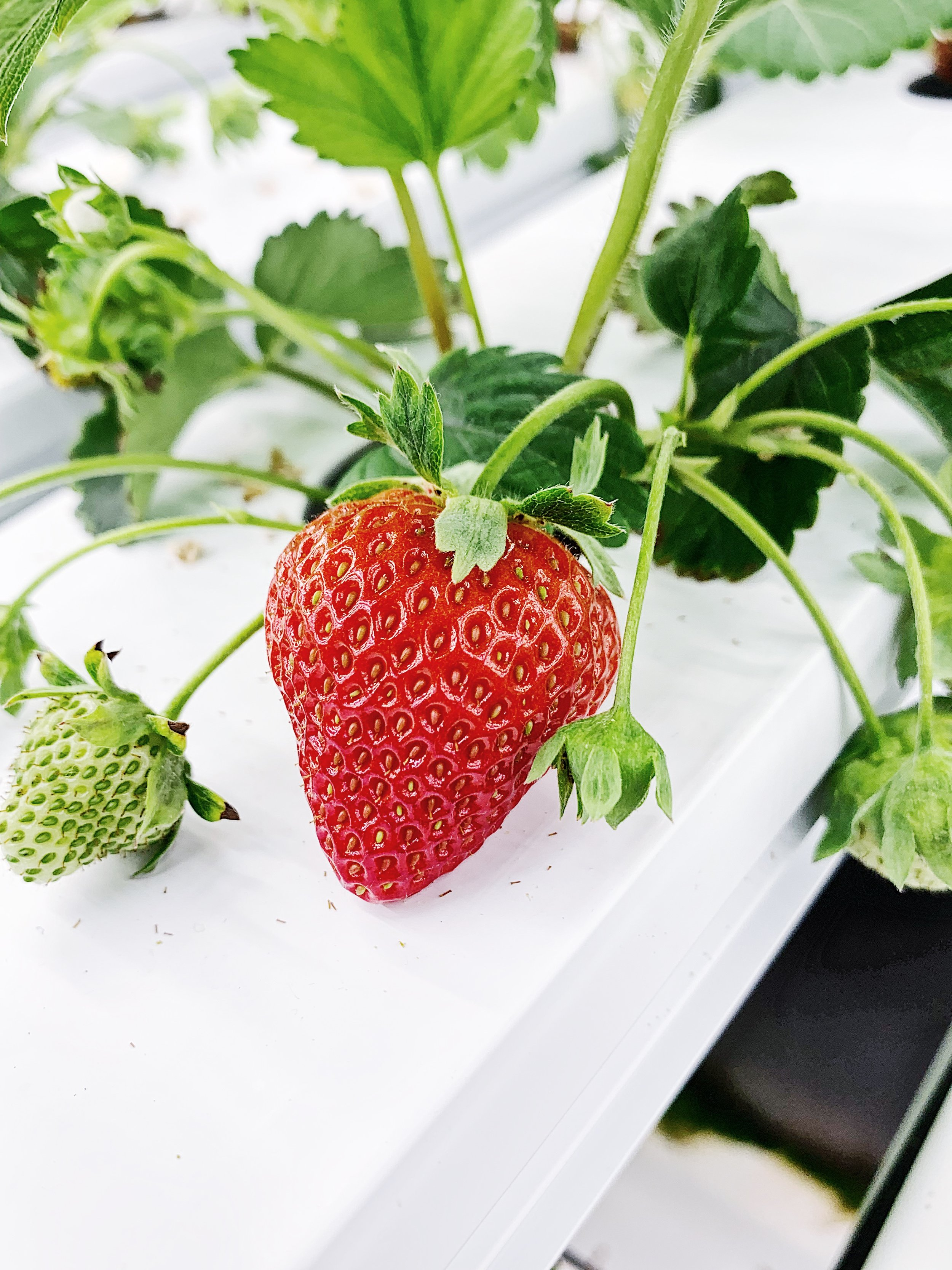 New Jersey strawberries in February? - It's more than wishful thinking.Kêr Farms (sounds like 'care') is an indoor vertical farm.Our talented farmer-scientists ensure that the right mix of nutrients is delivered to each plant every day, the light is always bright, and the temperature is balmy.Given perfect conditions, our plants grow quickly and with maximum flavor.