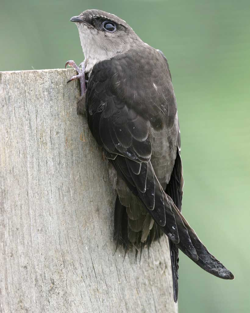 Chimney Swift - Chaetura pelagicaStatus: CommonWhen to see: Spring, Summer, Fall
